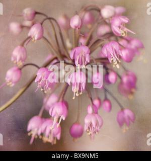 L'Allium cernuum - Hoche oignon, poireau de RHS AGM Banque D'Images