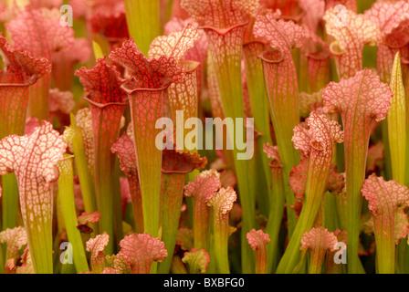 Pichet - fleurs trompette Genre Sarracenia - tasses du Huntsman