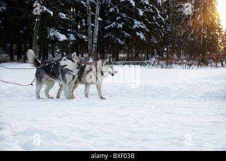 Les chiens dans une équipe en hiver sur un fond de coucher du soleil Banque D'Images