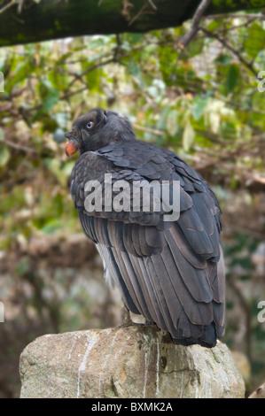 Vautour roi Sarcoramphus papa monde des oiseaux en captivité de l'Afrique du Sud Cape Town Banque D'Images