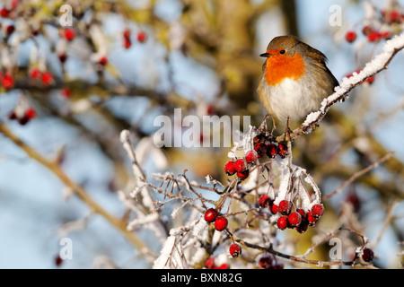 Robin, Erithacus rubecula aux abords, seul oiseau sur frosty baies, Midlands, Décembre 2010 Banque D'Images