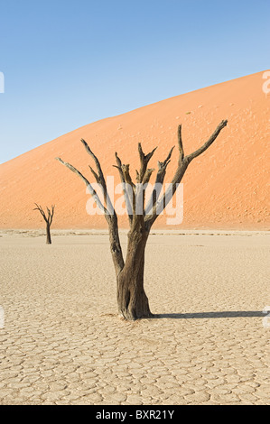 Camelthorn arbres morts (Acacia erioloba) à Dead Vlei, Désert du Namib, Namibie Banque D'Images
