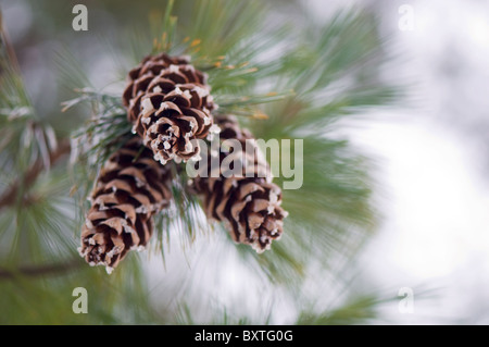 Cônes de pin sur un arbre Banque D'Images