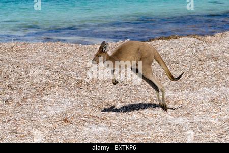 Kangaroo sur la plage à Lucky Bay En Cape Le Grand National Park à Esperance Wa Australie Banque D'Images