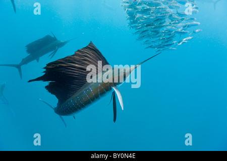 La chasse aux voiliers de l'Atlantique des sardines, Istiophorus albicans, Isla Mujeres, péninsule du Yucatan, la Banque D'Images