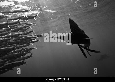 Troupeau de voiliers de l'Atlantique des sardines, Istiophorus albicans, Isla Mujeres, péninsule du Yucatan, la Banque D'Images