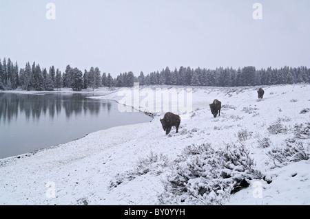 Bison américain voyageant le long d'un lac en hiver dans le Parc National de Yellowstone. Banque D'Images