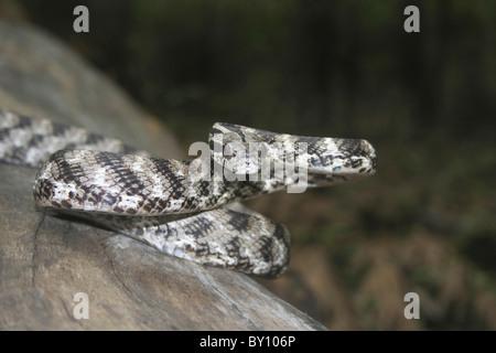 Le chat de FORSTEN Boiga forsteni serpent venimeux, Tamhini Midly commune près de Pune, Maharashtra, Inde