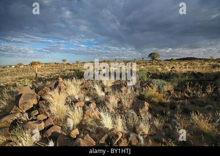 La Namibie, Keetmanshoop. Quiver Tree Forest tôt le matin la lumière. Banque D'Images