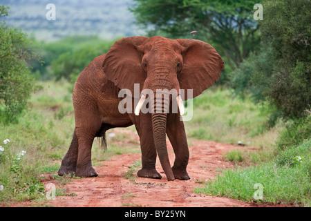 Un éléphant couvert de poussière rouge bloque une voie au Kenya, le parc national de Tsavo Ouest. Banque D'Images