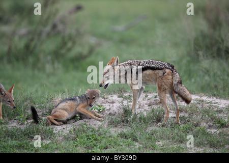 Le Chacal à dos noir, Canis mesomelas, parent et les jeunes, à Lebala Camp, Okavango Banque D'Images
