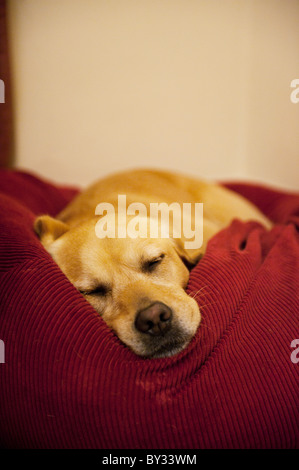 Labrador Retriever dog dormant dans bean bag Banque D'Images