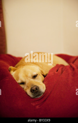 Golden Labrador sleeping in bed Banque D'Images