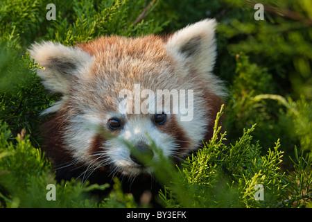 Le panda rouge (Ailurus fulgens, brillant ou cat) Banque D'Images
