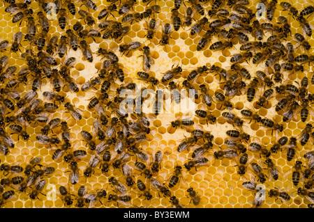 Sur nid d'abeilles Apis mellifera Banque D'Images