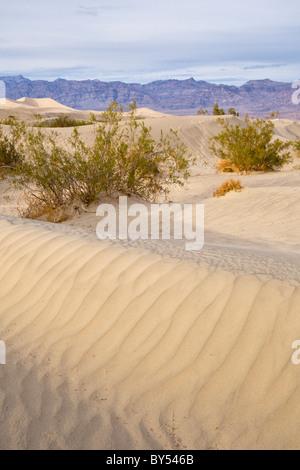L'ondulation du sable avec des buissons de créosote, Larrea tridentata, au Mesquite Flat dunes de sable, la Death Valley, Californie, États-Unis.