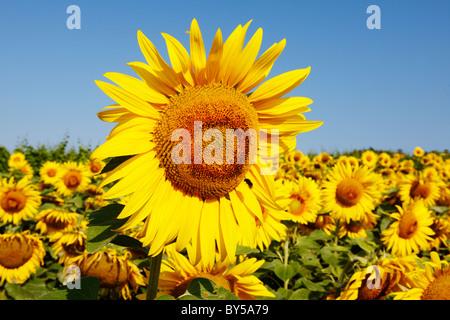 Domaine de fleuries de tournesol Banque D'Images