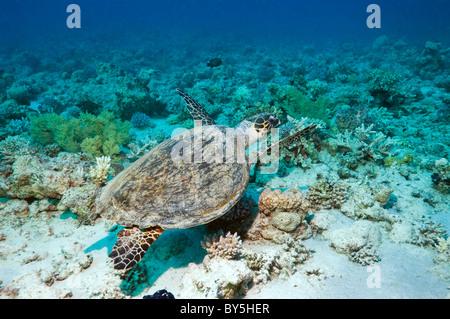 La tortue imbriquée (Eretmochelys imbricata) nager sur les récifs coralliens. L'Egypte, Mer Rouge. Banque D'Images