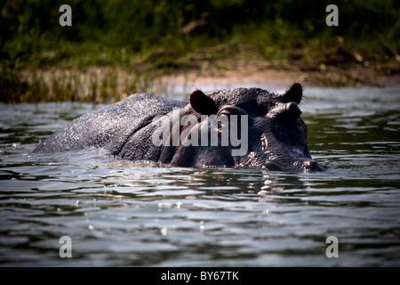Hippopotame, Canal Kasinga, Parc national Queen Elizabeth, en Ouganda, en Afrique de l'Est Banque D'Images