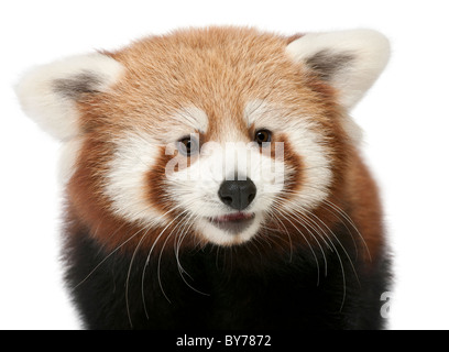 Close-up, Ailurus fulgens, 7 mois, in front of white background Banque D'Images
