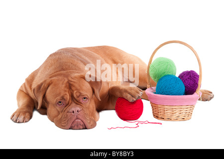 Grand dogue de Bordeaux se repose après avoir joué avec des boules de Clew Banque D'Images