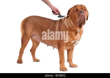 Mastiff français est d'avoir son peigne hebdomadaire - il est temps de toilettage Banque D'Images