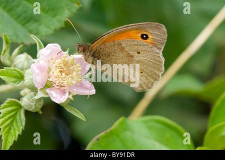 Pyronia tithonus Papillon (Gatekeeper), Royaume-Uni Banque D'Images