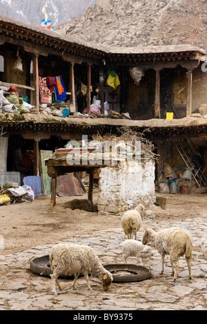 Les moutons dans la cour au monastère de Drepung, à Lhassa, au Tibet. JMH4514 Banque D'Images