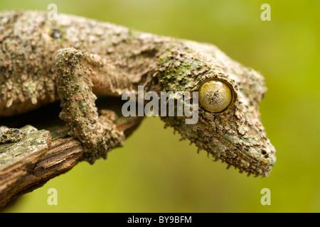 Gecko à queue de feuille moussus (Uroplatus sikorea) sur un morceau d'écorce dans l'Est de Madagascar. Banque D'Images