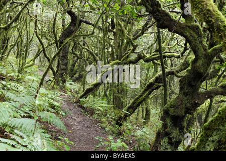 Sentier forestier dans une forêt d'arbres laurel, Parc National de Garajonay, île de La Gomera, Canary Islands, Spain, Europe
