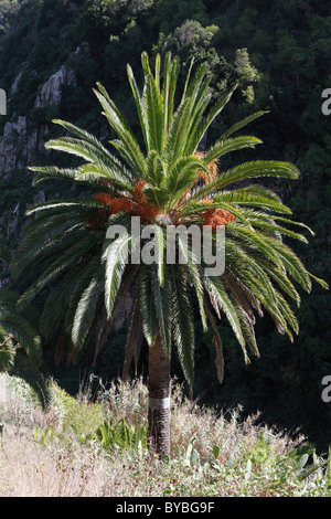 Île des Canaries (Phoenix canariensis), l'île de La Gomera, Canary Islands, Spain, Europe Banque D'Images