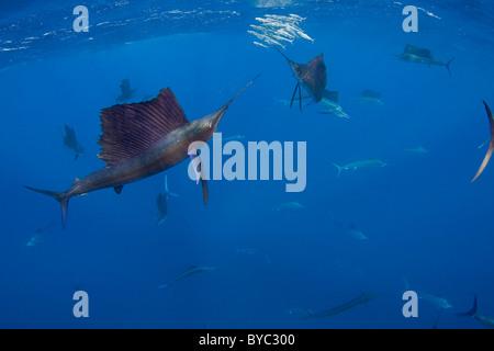 Voilier de l'Atlantique, Istiophorus albicans, chasse de sardines au large de la péninsule du Yucatan, Mexique ( Banque D'Images