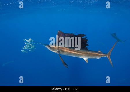 Voilier de l'Atlantique, Istiophorus albicans, chasse les sardines, le Mexique ( Mer des Caraïbes ) Banque D'Images