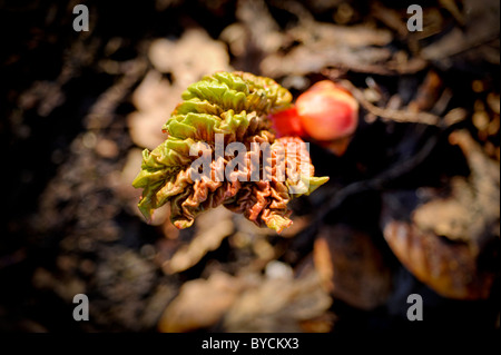 Jardin d'hiver de Sussex - Vue de dessus la rhubarbe - les premières pousses commencent à montrer à la fin de janvier.