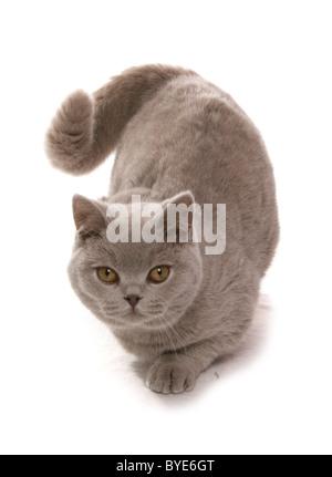 British Shorthair Lilac adult cat Sitting Studio Portrait