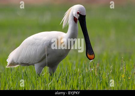 La Spatule blanche (Platalea leucorodia). Fun pour adultes en plumage nuptial de nourriture dans un pré. Lake Kerkini, Banque D'Images