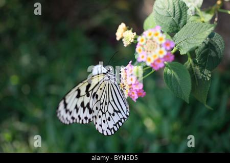 Papier de Riz papillon sur Lantana Banque D'Images