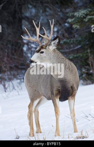 Vertical d'un portrait d'une mule deer buck debout dans la neige qui tombe légèrement. Banque D'Images