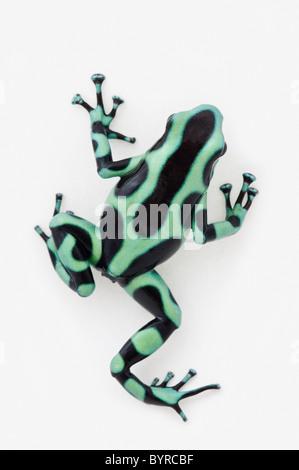 Noir et vert poison dart frog (dendrobates auratus) Banque D'Images