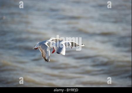 Vol de mouettes deux proches l'une de l'autre juste au-dessus des vagues à proximité du rivage. Banque D'Images