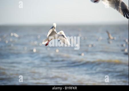 Vol de mouettes près du rivage tout en se nourrissant de bancs de petits poissons. Banque D'Images