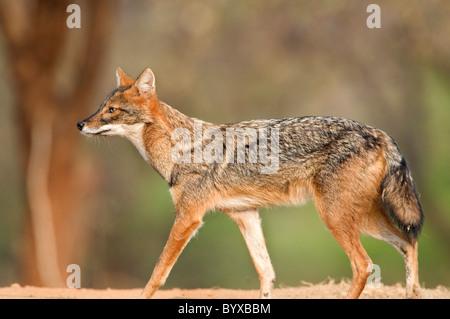 Le chacal doré Canis aureus Inde