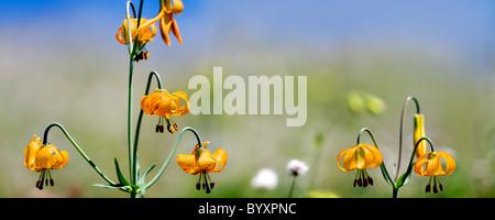 Tiger Lily (Lilium columbianum colombien). Hurricane Ridge. Le Parc National Olympique. L'État de Washington. Banque D'Images