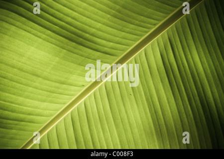 La texture complexe révélé dans une nouvelle feuille verte