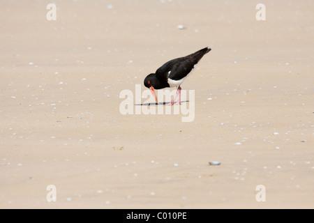 L'huîtrier pie (Haematopus longirostris ) attraper ver à marée basse sur la plage Banque D'Images