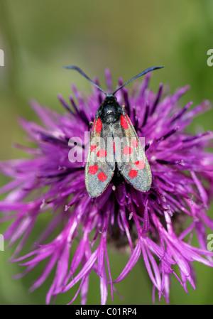 Spot 6, Zygaena filipendulae Burnett, des Zygaenidae, Lepidoptera, sur une plus grande fleur de centaurée.