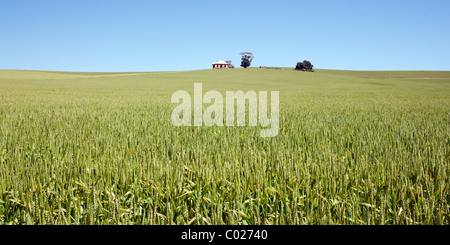 Culture de blé vert dans un champ pays sous un ciel bleu clair au-dessus de l'horizon. Une cabane de pierres et Banque D'Images