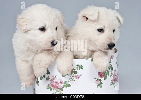 Deux ou Chien Berger Blanc Suisse chiots Berger Blanc Suisse dans une boîte Banque D'Images