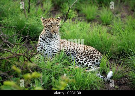 Leopard (Panthera pardus), adulte, au repos Sabisabi Private Game Reserve, Kruger National Park, Afrique du Sud, l'Afrique