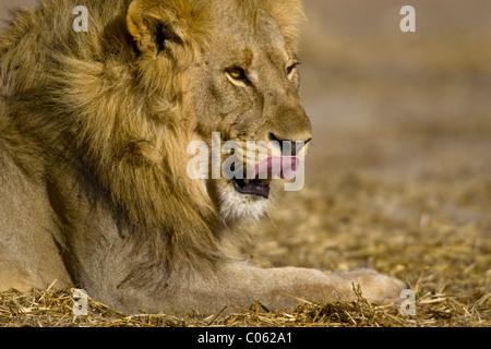 Lion mâle de lécher ses lèvres, Etosha National Park, Namibie Banque D'Images